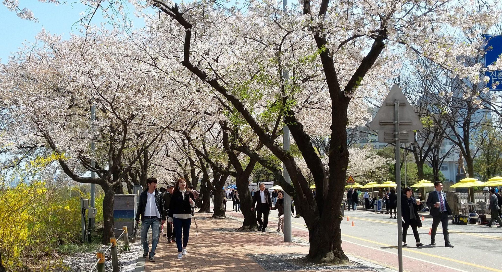 Foto Festival Bunga Sakura Di Yeouido Korea Selatan